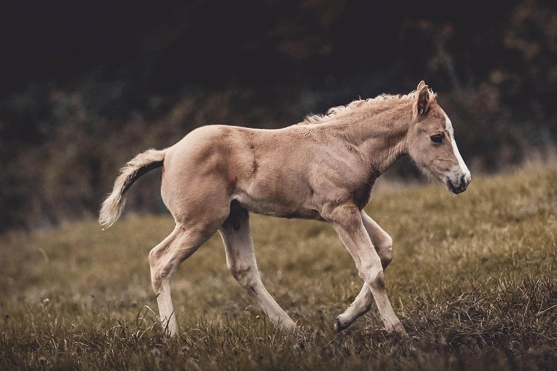 Sam, Nachzucht von Quarter Horse Zucht Hengst Dreamn Bout Chics